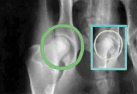 ...при выполнении рентгеновских снимков тазобедренного сустава.